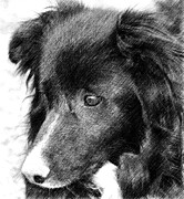 Collie Digital Art Posters - Border Collie In Pencil Poster by Smilin Eyes  Treasures