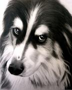 Collie Drawings Framed Prints - Border Collie Portrait Framed Print by Susan Barwell