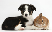 Border Collie Pup And Netherland-cross Print by Mark Taylor