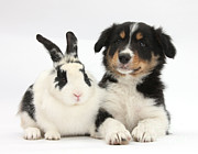 White Puppy Posters - Border Collie Pup And Rabbit Poster by Mark Taylor