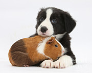 Collie Posters - Border Collie Pup And Tricolor Guinea Poster by Mark Taylor