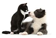 Mark Taylor - Border Collie Pup And Tuxedo Kitten