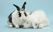 White Puppy Posters - Border Collie Pup Sleeping With Rabbit Poster by Mark Taylor