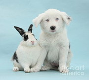 White Puppy Posters - Border Collie Pup With Rabbit Poster by Mark Taylor