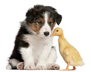 Bird Dog Posters - Border Collie Puppy And Domestic Duckling Poster by Life On White