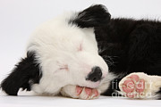 Sleeping Dog Posters - Border Collie Puppy Sleeping Poster by Mark Taylor