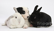 Collie Framed Prints - Border Collie Pups With Black Rabbit Framed Print by Mark Taylor