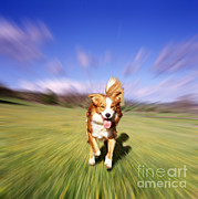 Collie Posters - Border Collie Running Through Meadow Poster by Mark Taylor