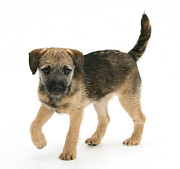 Dog Walking Posters - Border Terrier Puppy Poster by Mark Taylor
