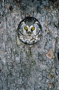 Mp Photos - Boreal Owl Aegolius Funereus Peaking by Konrad Wothe