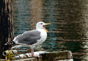 Gull Digital Art Prints - Boring Print by Betty LaRue