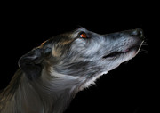 Greyhound Digital Art Prints - Born for the Run Print by Julie L Hoddinott