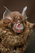 Bat Photos - Bornean Horseshoe Bat Rhinolophus by Ch