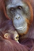 Embracing Prints - Bornean Orangutan Female Cuddling Her Baby Print by Anup Shah