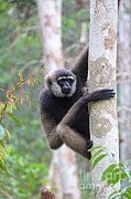 Gibbon Framed Prints - Bornean White-bearded Gibbon Framed Print by Mark Taylor