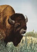 Boss Bull Print by Bud Bullivant