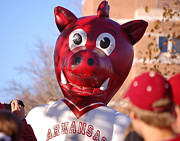Razorbacks Photos - Boss Hog by Amy Glover Bryant