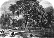 Boston Common Prints - Boston Common: Great Elm Print by Granger