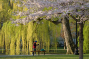 Back Bay Prints - Boston Public Garden in Spring Print by Susan Cole Kelly