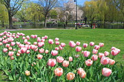 Boston Common Prints - Boston Public Garden Tulips Print by John Burk