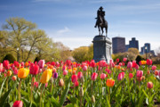 England Art - Boston Public Garden Tulips by Susan Cole Kelly