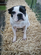 Haybale Photo Prints - Boston Terrier Print by Debbie Pippin