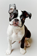 White Background Framed Prints - Boston Terrier Dog Puppy Framed Print by Square Dog Photography