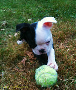 ShatteredGlass Photography  - Boston Terrier Puppy
