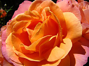Flora Photography Prints Posters - Botanical art prints Vibrant Orange Rose Flower Poster by Baslee Troutman Fine Art Prints
