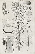 Transactions Framed Prints - Botanical Illustrations, 17th Century Framed Print by Middle Temple Library