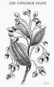 Botany: Cinnamon Plant Print by Granger