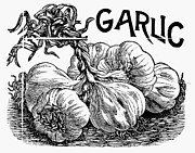 Garlic Framed Prints - Botany: Garlic Framed Print by Granger