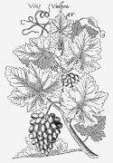 Grape Leaf Prints - Botany: Grapes, 1612 Print by Granger