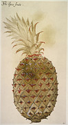 Pineapple Prints - Botany: Pineapple, 1585 Print by Granger