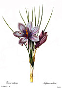 Biology Art - Botany: Saffron by Granger