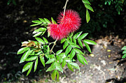 Bottle Brush Plants Acrylic Prints - Bottle Brush Acrylic Print by Bobbie G