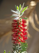 Bottle Brush Metal Prints - Bottle Brush Flower Metal Print by James Granberry