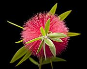 Bottle Brush Photos - Bottlebrush 2 by Kelley King