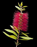 Bottle Brush Metal Prints - Bottlebrush 3 Metal Print by Kelley King