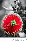 Holly Kempe Metal Prints - Bottlebrush Callistemon Metal Print by Holly Kempe