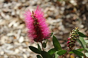 Floral Jewelry Metal Prints - Bottlebrush Flower. Metal Print by Michael Clarke JP