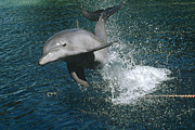 Atlantic Bottlenose Dolphin Prints - Bottlenose Dolphin Jumping Hawaii Print by Flip Nicklin