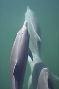 Tursiops Truncatus Prints - Bottlenose Dolphin Trio Surfacing Shark Print by Flip Nicklin
