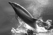 Tursiops Truncatus Prints - Bottlenose Dolphin, Tusiops Truncatus Print by Ralph Lee Hopkins