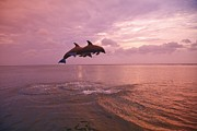Bay Islands Framed Prints - Bottlenose Dolphins (tursiops Truncatus) Jumping Together At Sunset In The Caribbean Sea Framed Print by Design Pics / Stuart Westmorland
