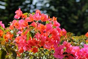 Greeting Cards - Bougainvillea Alabama Sunset by Elizabeth  Doran
