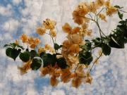 Realistic Photo Prints - Bougainvillea Bloom Print by Rose  Hill