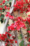 Vines Framed Prints - Bougainvillea Framed Print by Carol Groenen