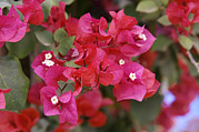 Africa-north Photos - Bougainvillea Flowers by Johnny Greig