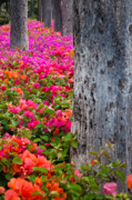 Natural World Framed Prints - Bougainvillea Forever Framed Print by Eggers   Photography